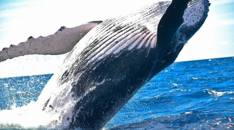 XRP Whales Holding 10M or More Coins Increase by 10% in 3 Weeks Altcoin News